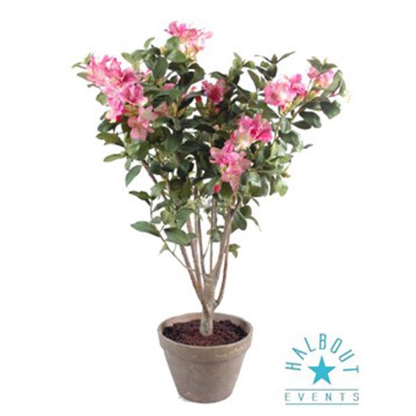 rhododedendron